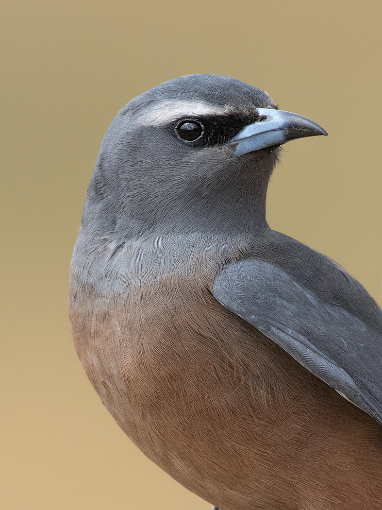 White-browed Woodswallow (Image ID 36753)