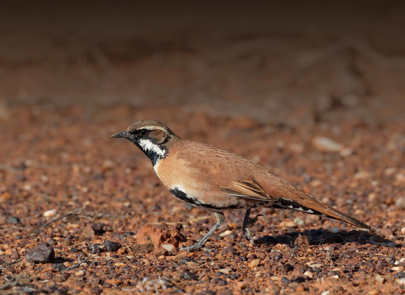 Chestnut-breasted Quail-thrush (Image ID 36831)