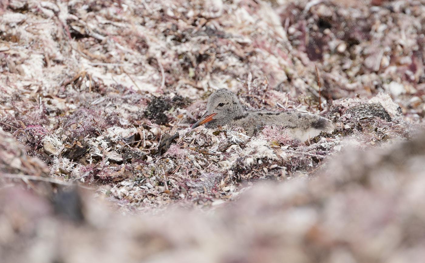 Australian Pied Oystercatcher (Image ID 36982)