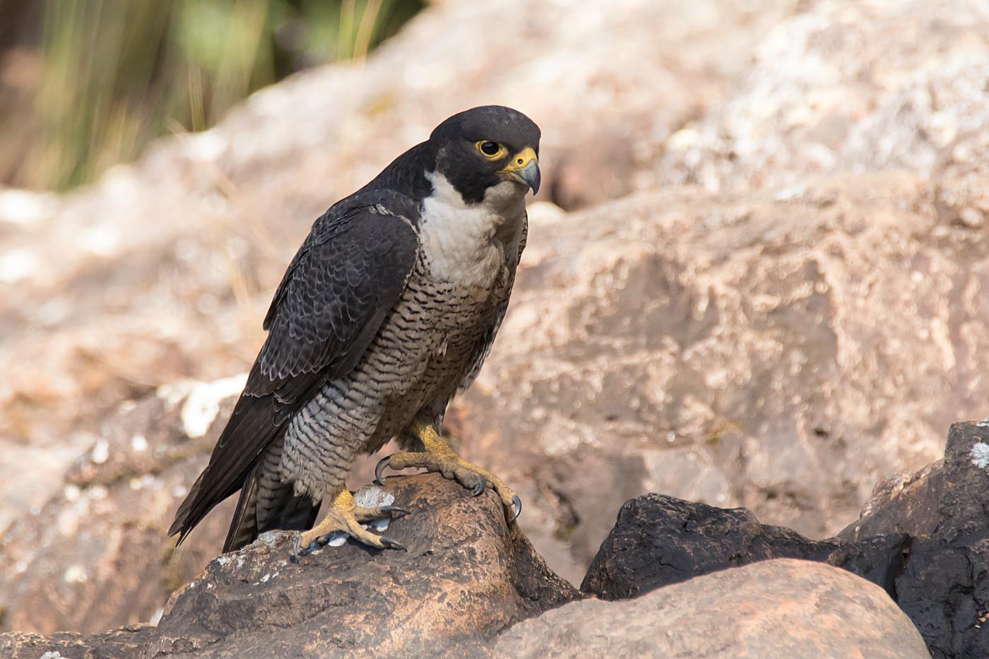 Peregrine Falcon (Image ID 36743)