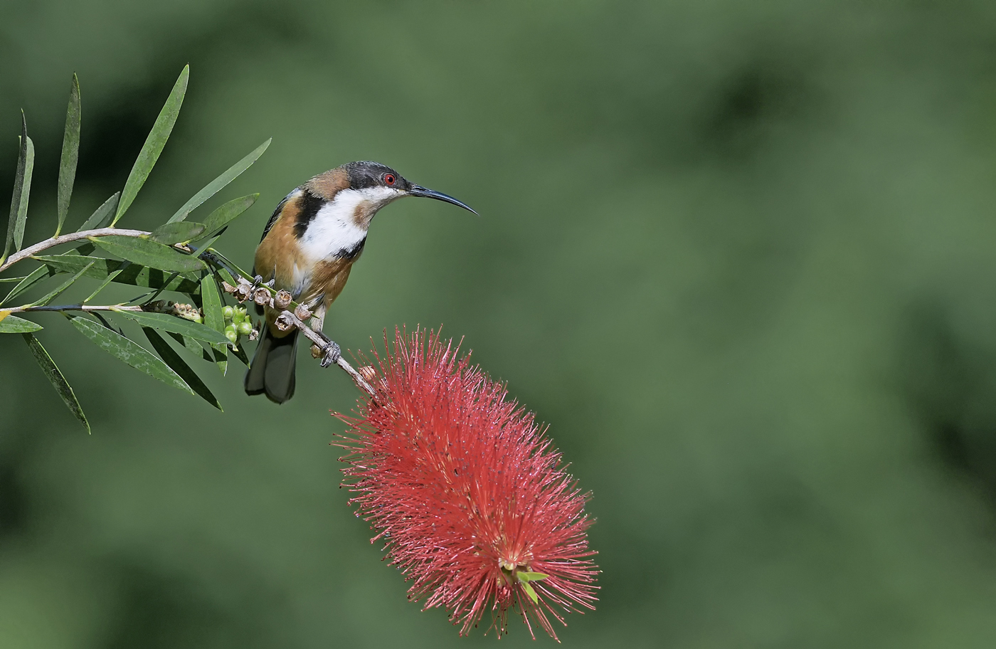 Eastern Spinebill (Image ID 36992)