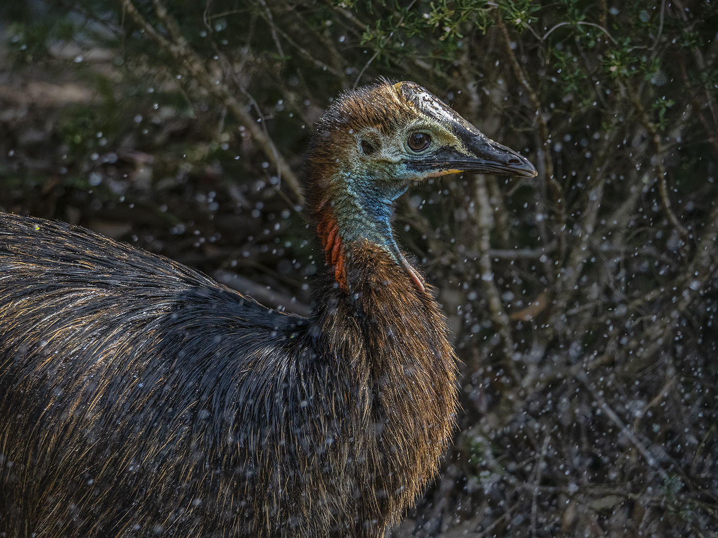 Southern Cassowary (Image ID 37074)