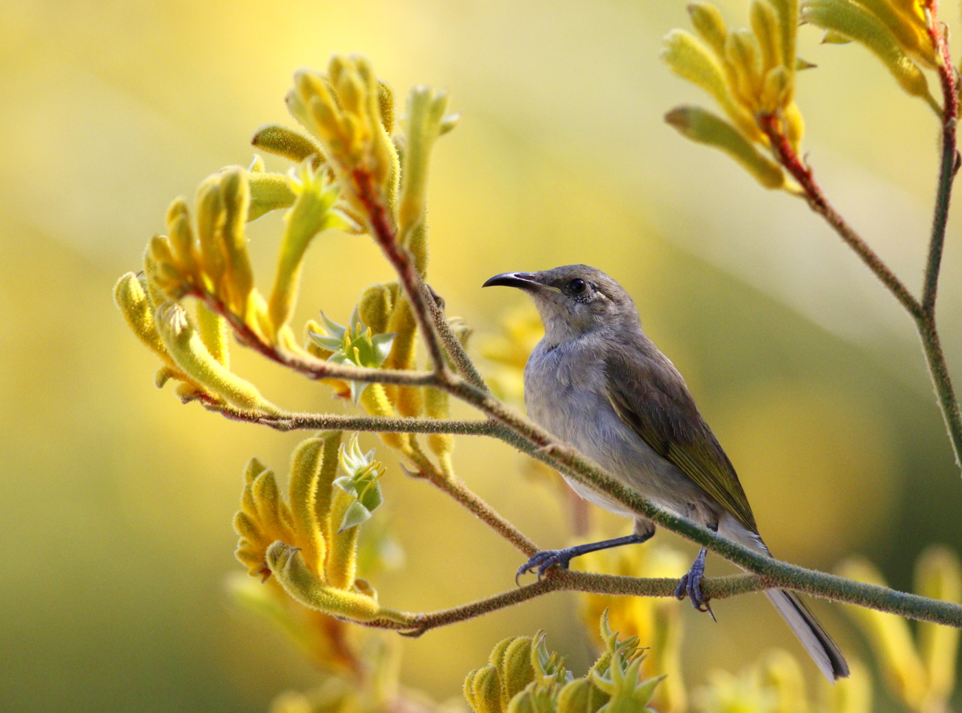 Brown Honeyeater (Image ID 37371)