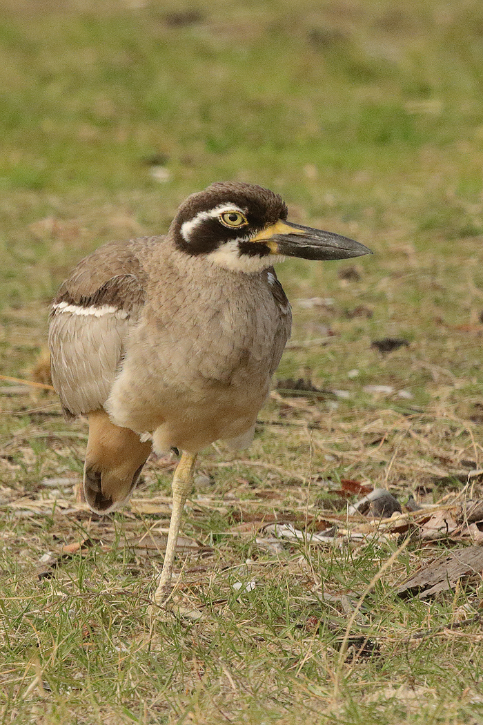 Beach Stone-curlew (Image ID 37422)