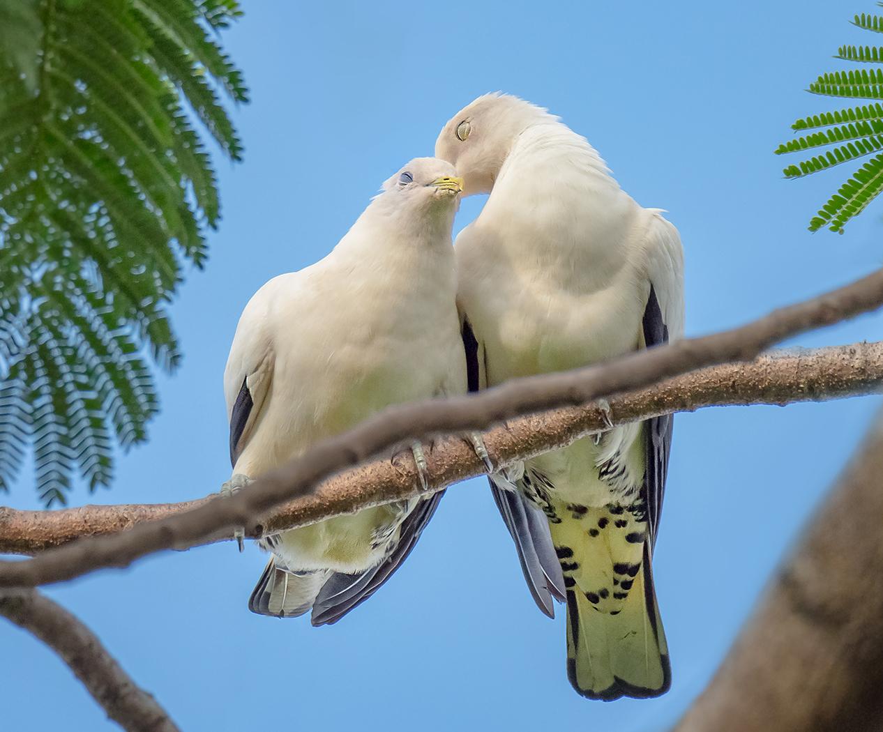 Torresian Imperial-Pigeon (Image ID 37084)