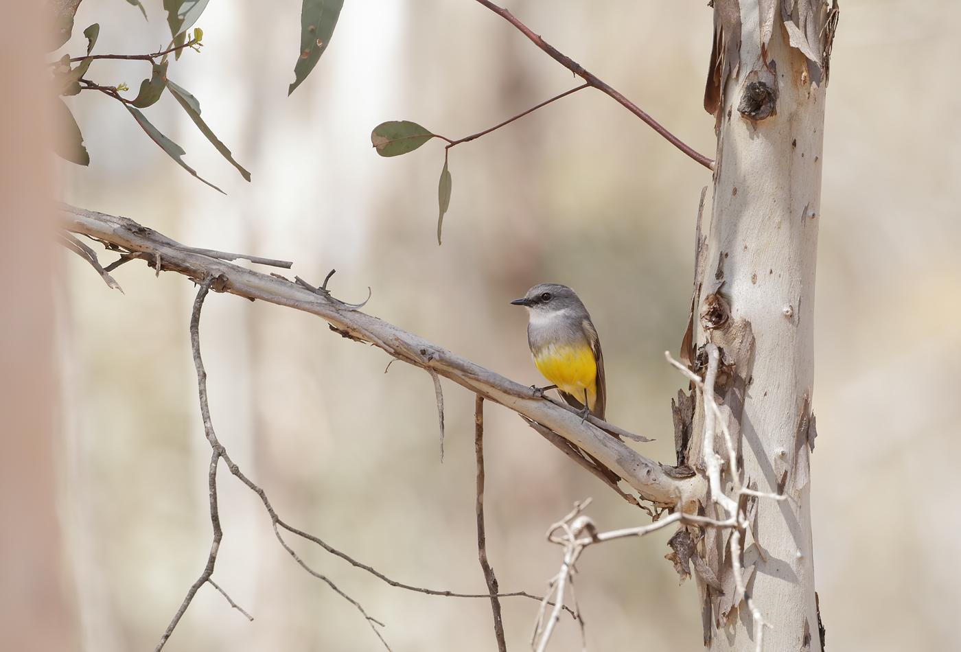 Western Yellow Robin (Image ID 37048)