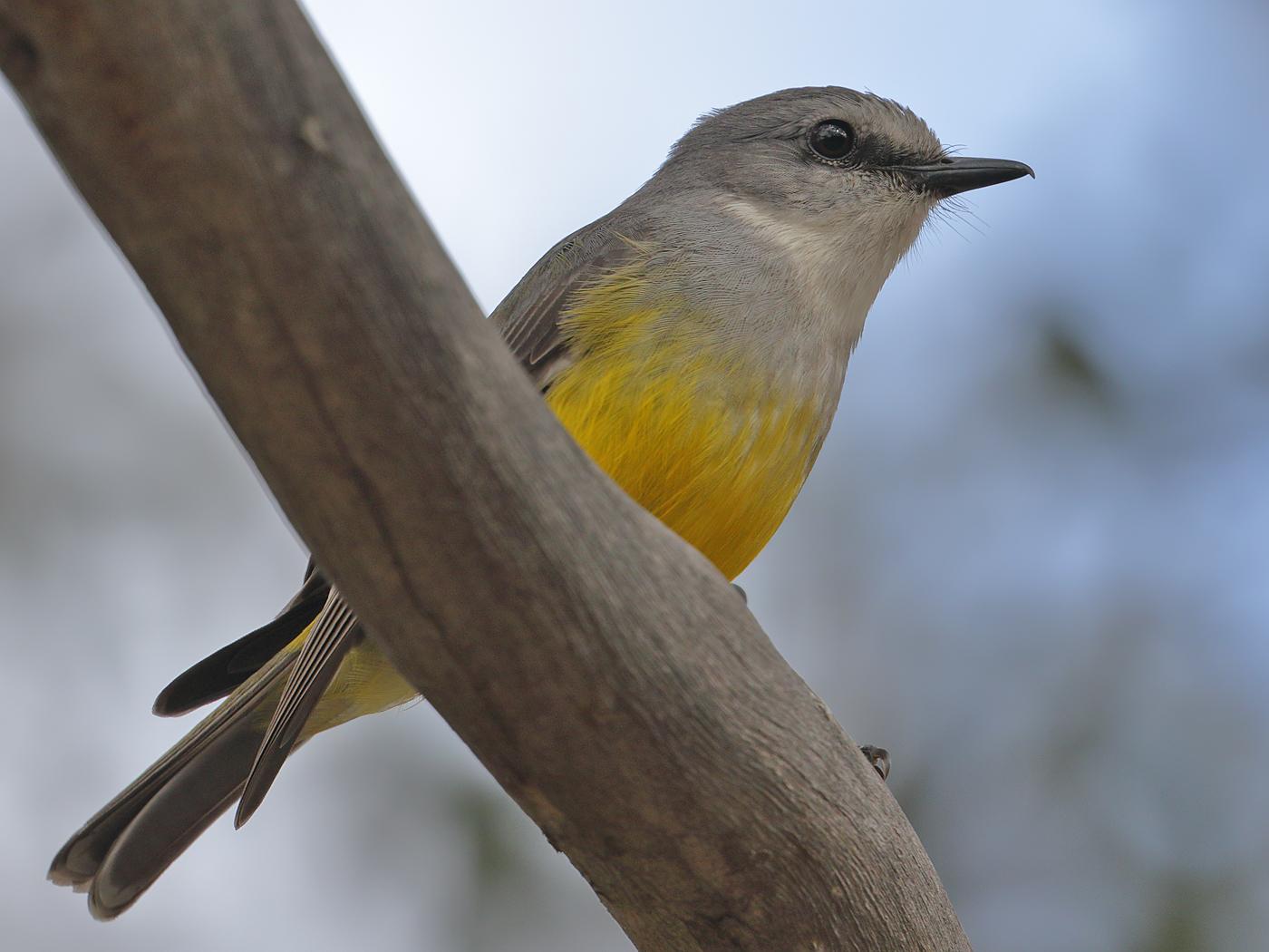 Western Yellow Robin (Image ID 37402)