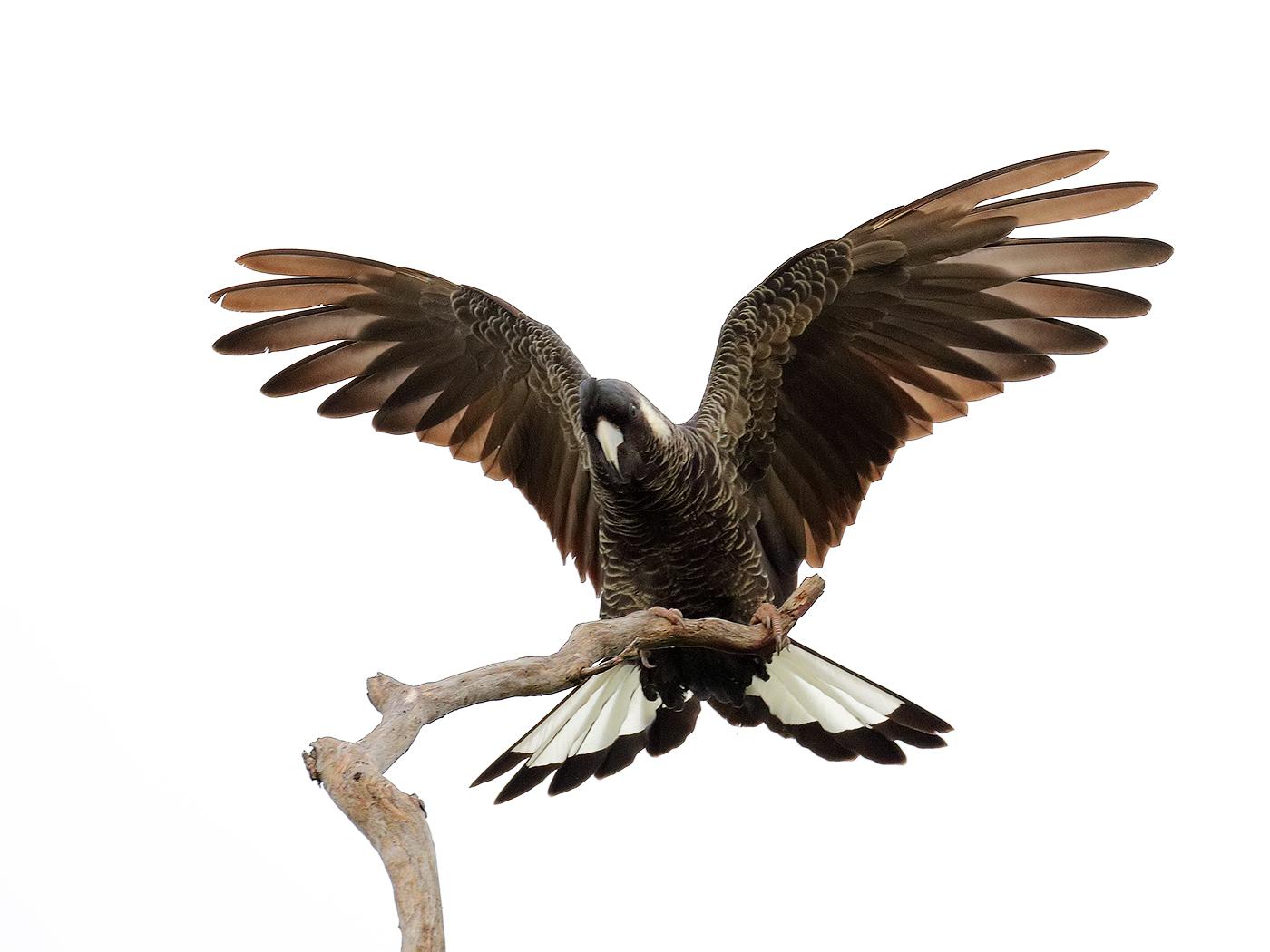 Baudin's Black-Cockatoo (Image ID 37347)