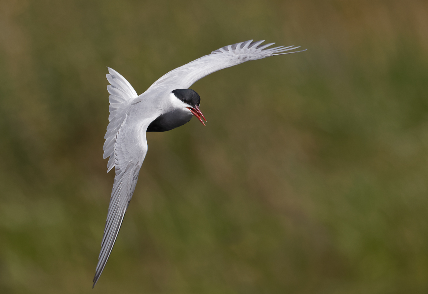 Whiskered Tern (Image ID 37306)