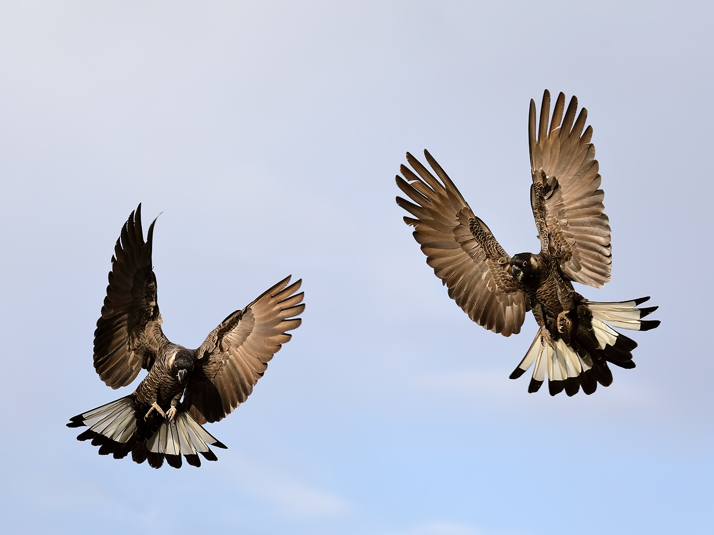 Carnaby's Black-Cockatoo (Image ID 37348)