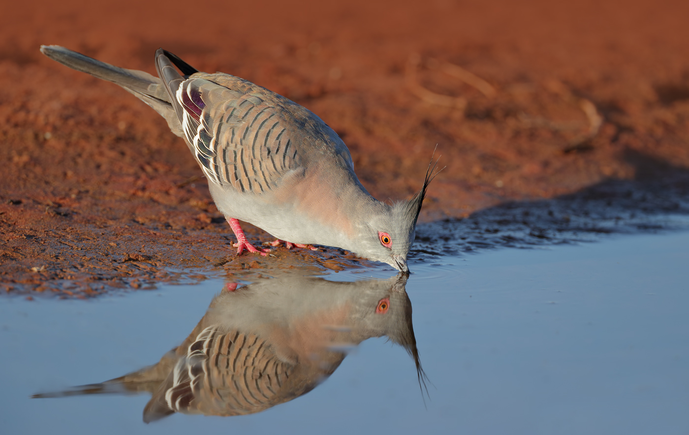 Crested Pigeon (Image ID 37330)