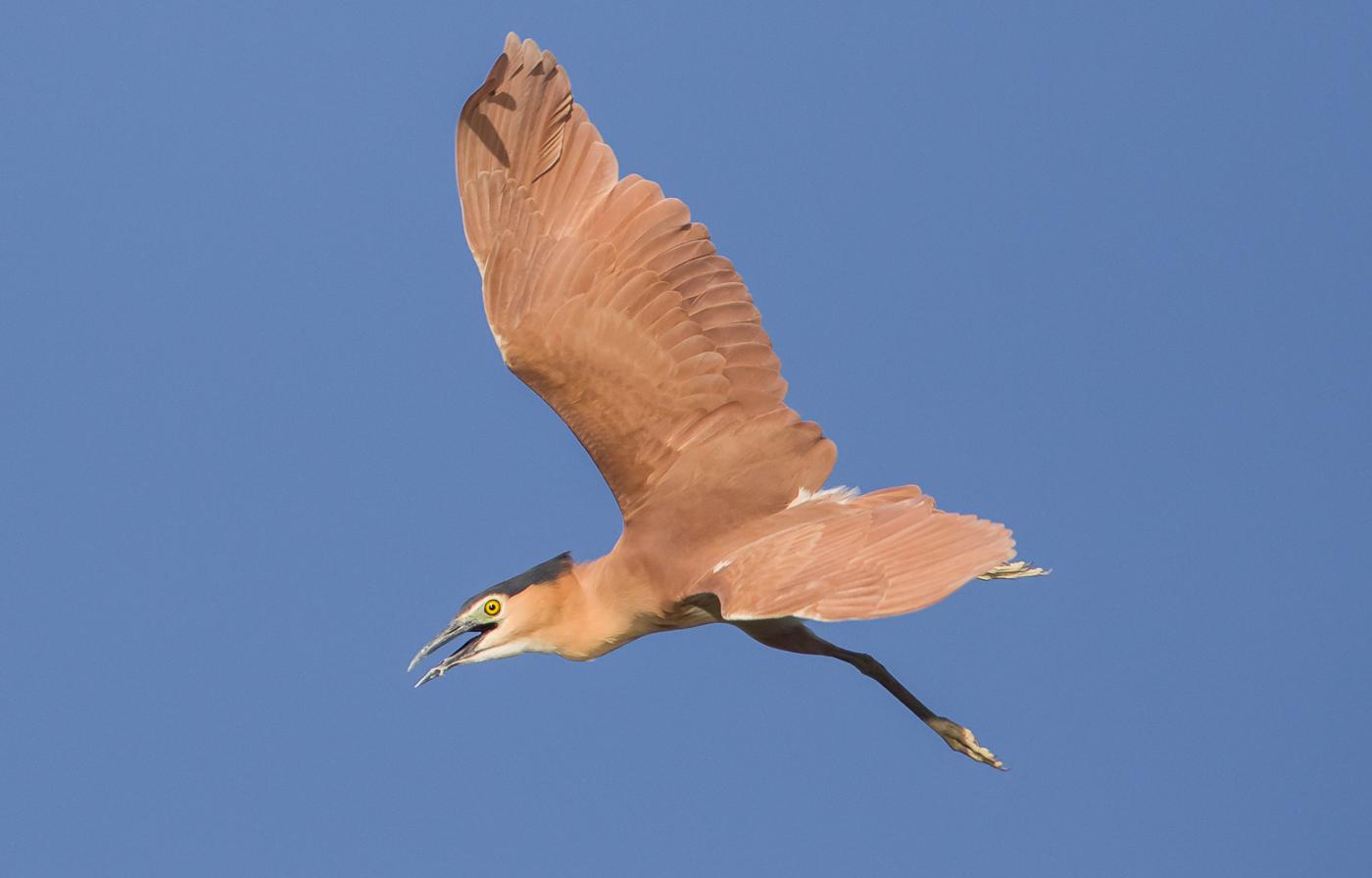 Nankeen Night-Heron (Image ID 37250)