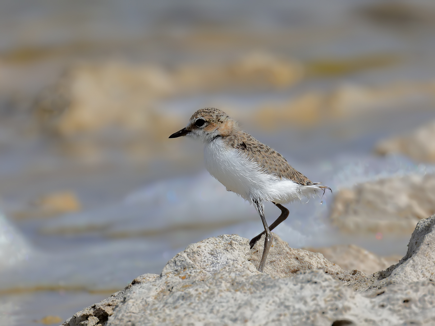 Red-capped Plover (Image ID 37174)