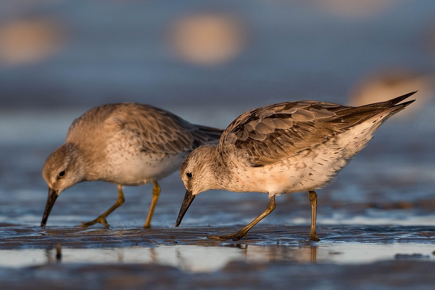 Red Knot (Image ID 37104)