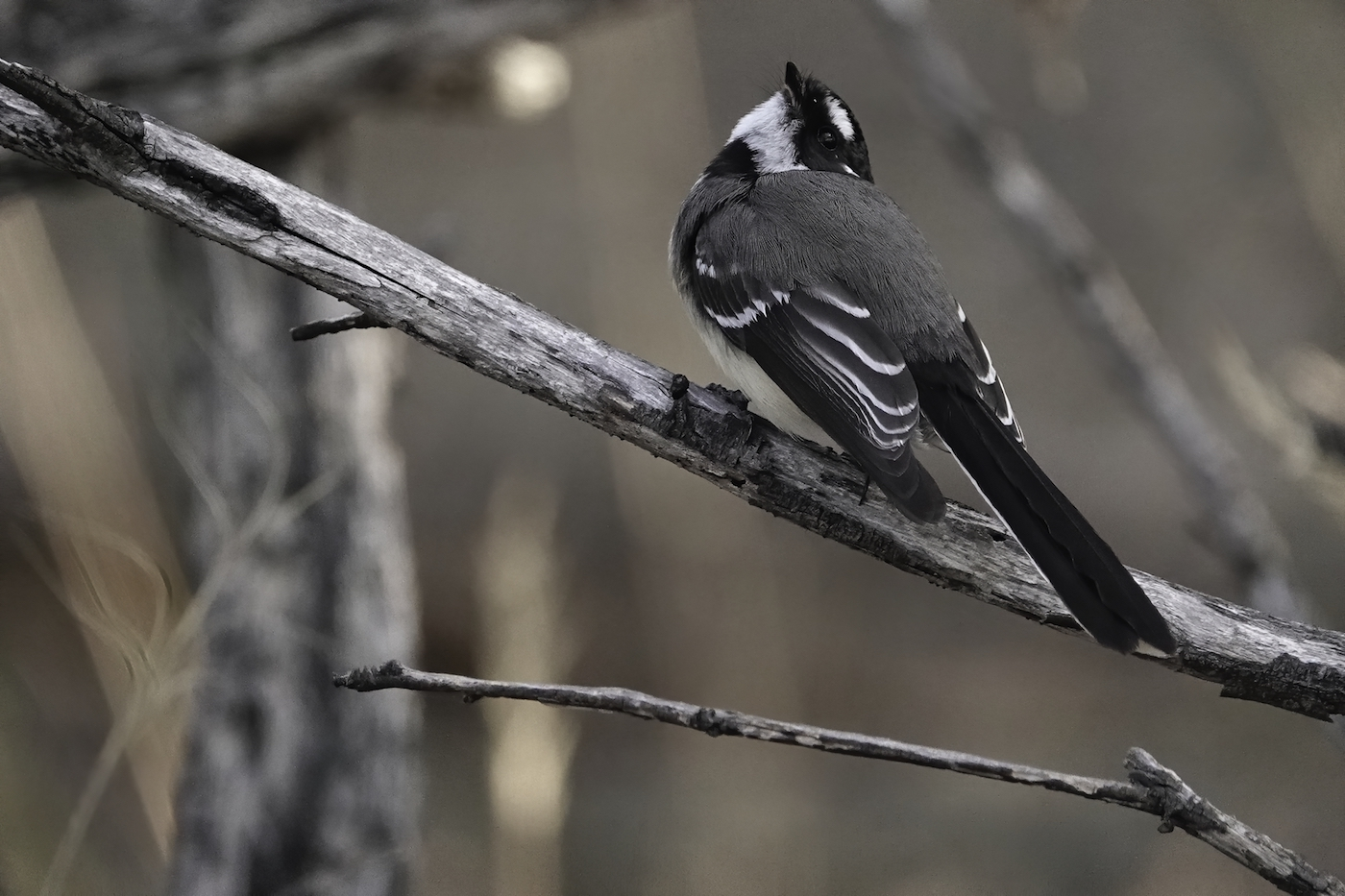 Grey Fantail (Image ID 37134)