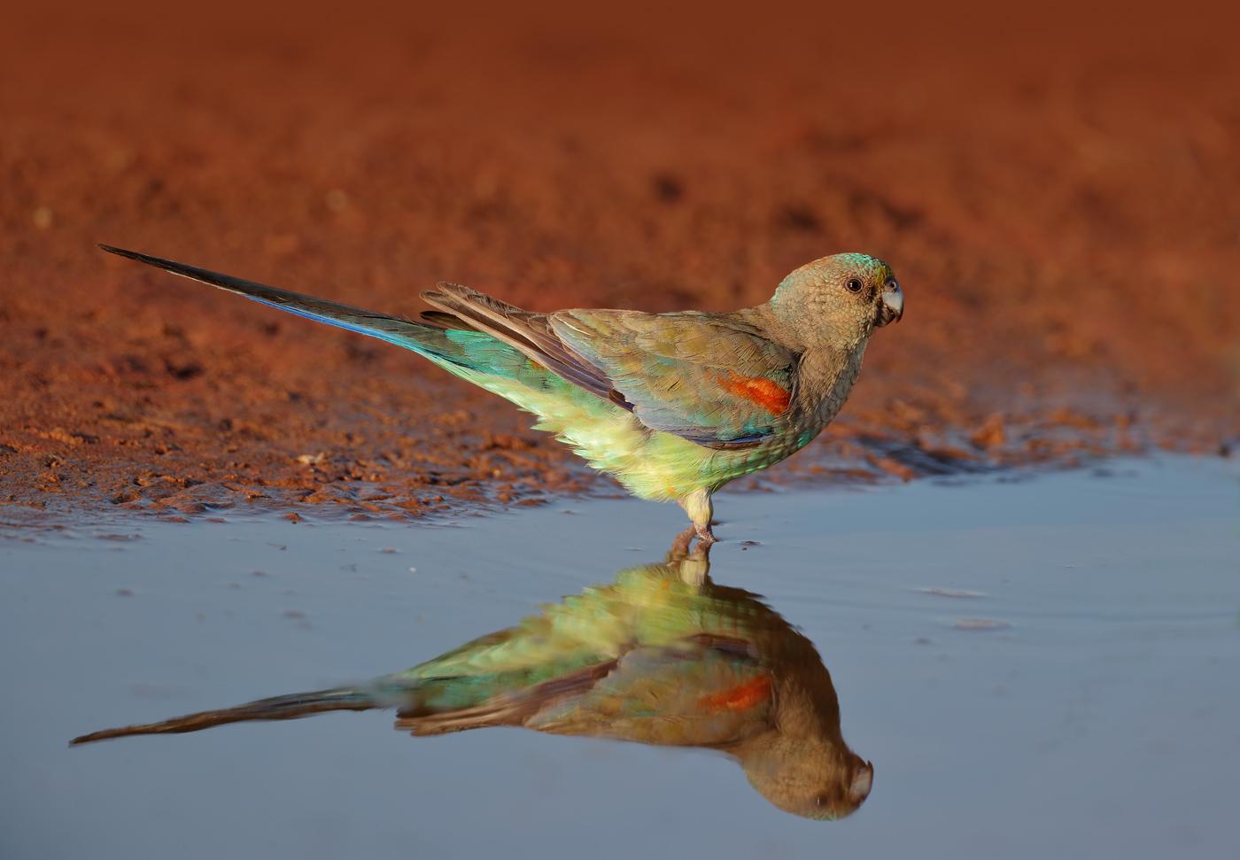 Mulga Parrot (Image ID 37305)