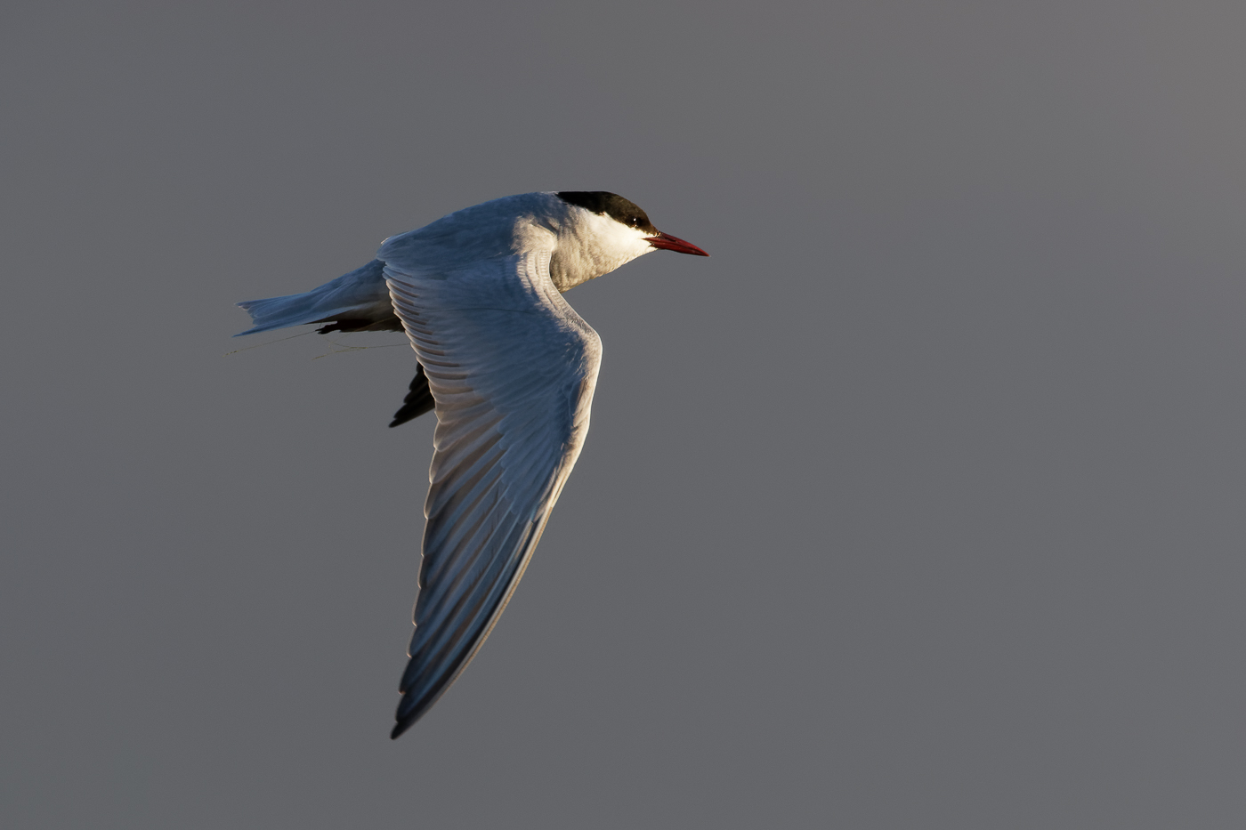 Whiskered Tern (Image ID 37243)