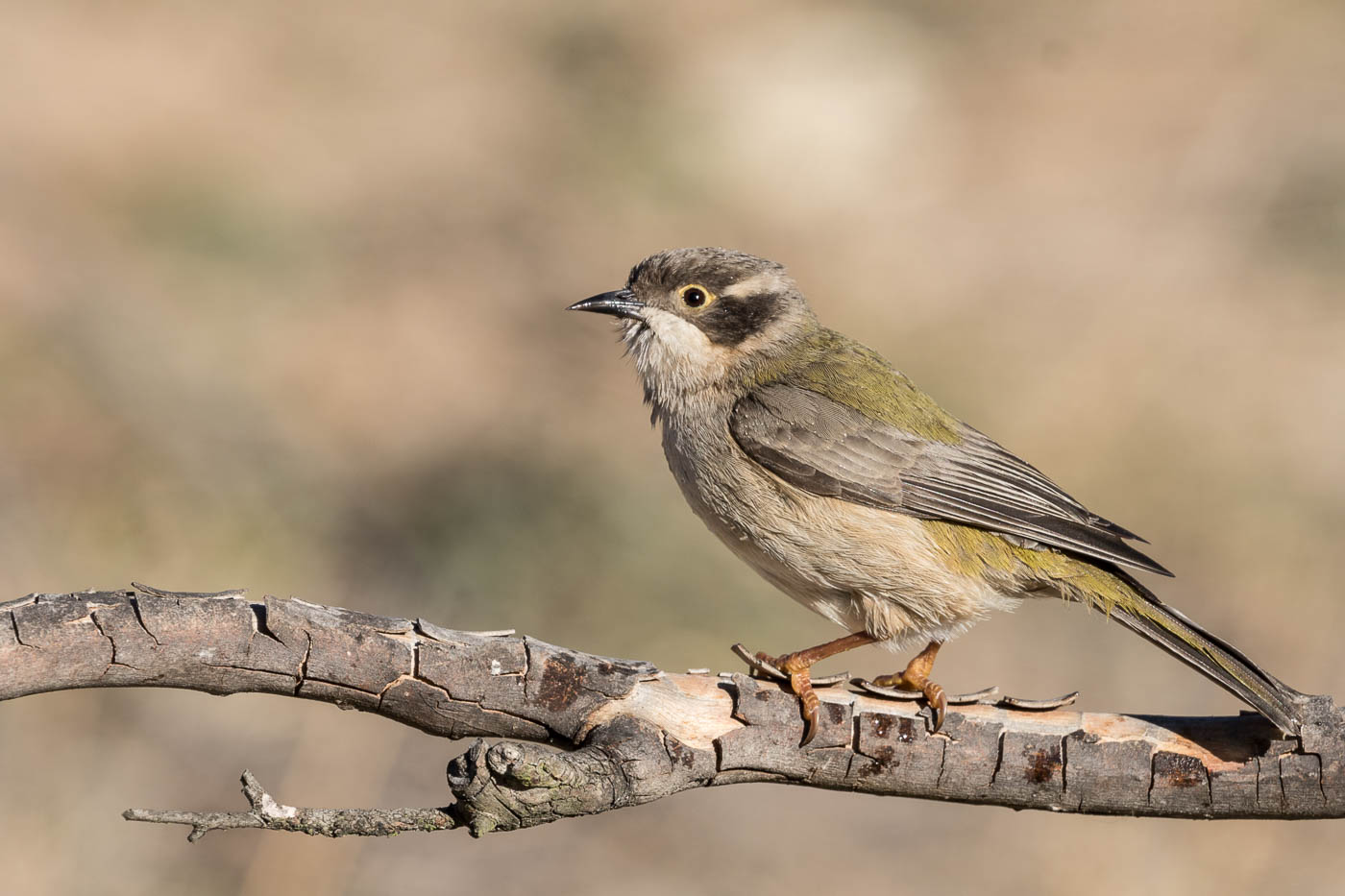 Brown-headed Honeyeater (Image ID 37127)