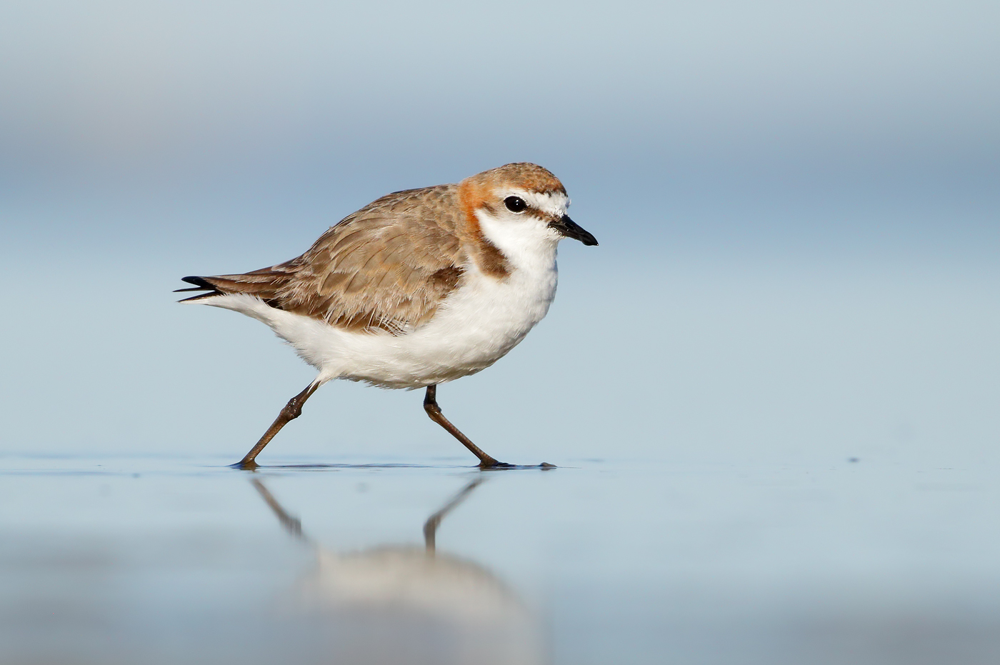 Red-capped Plover (Image ID 37301)
