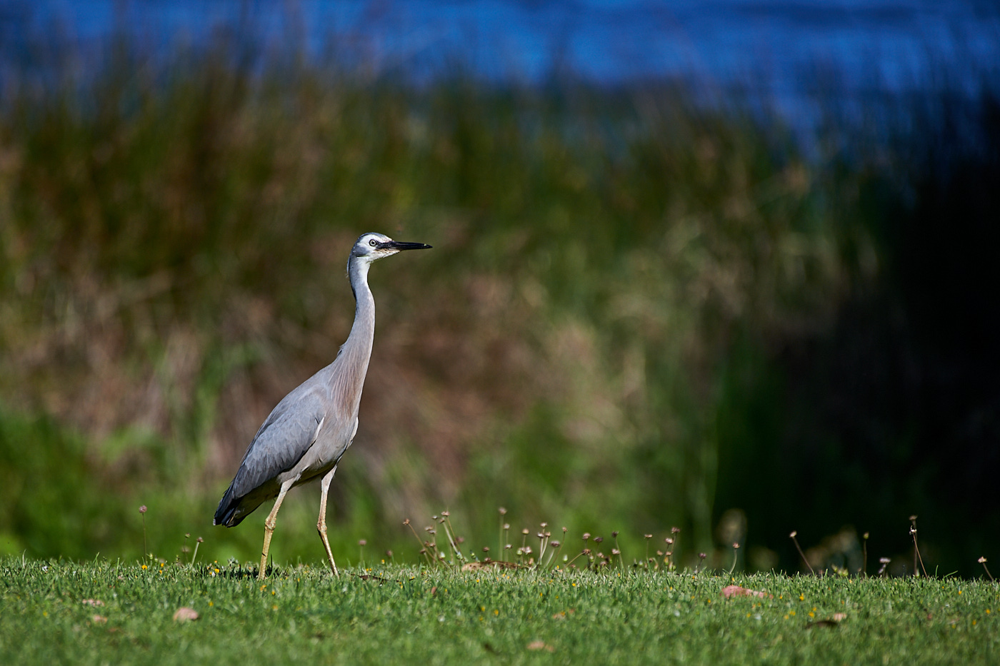 White-faced Heron (Image ID 37376)