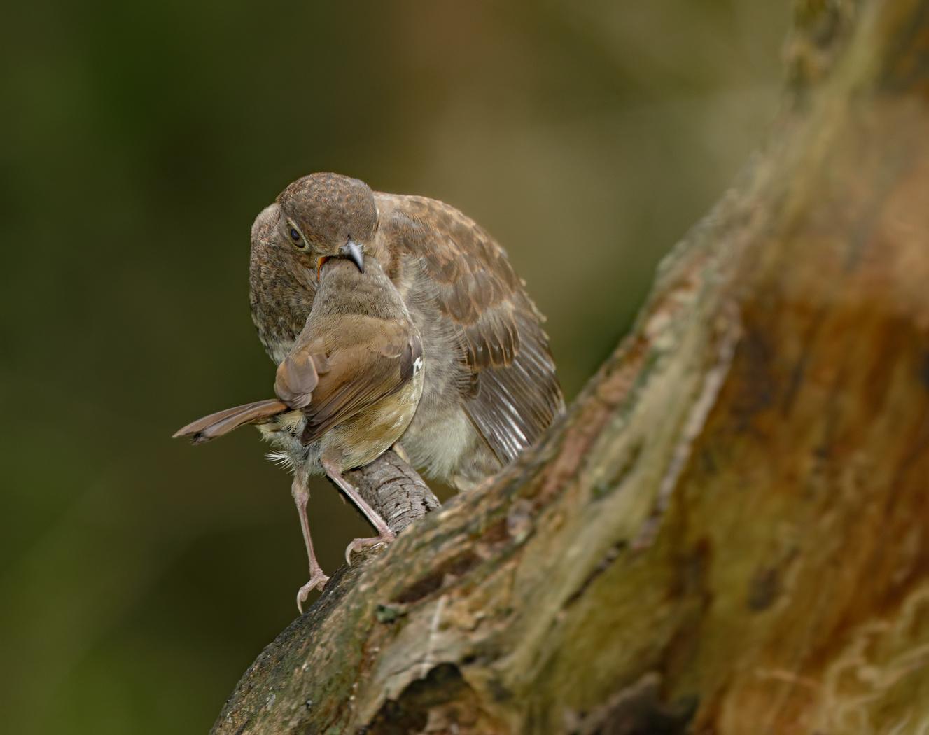 Fan-tailed Cuckoo,White-browed Scrubwren (Image ID 37260)