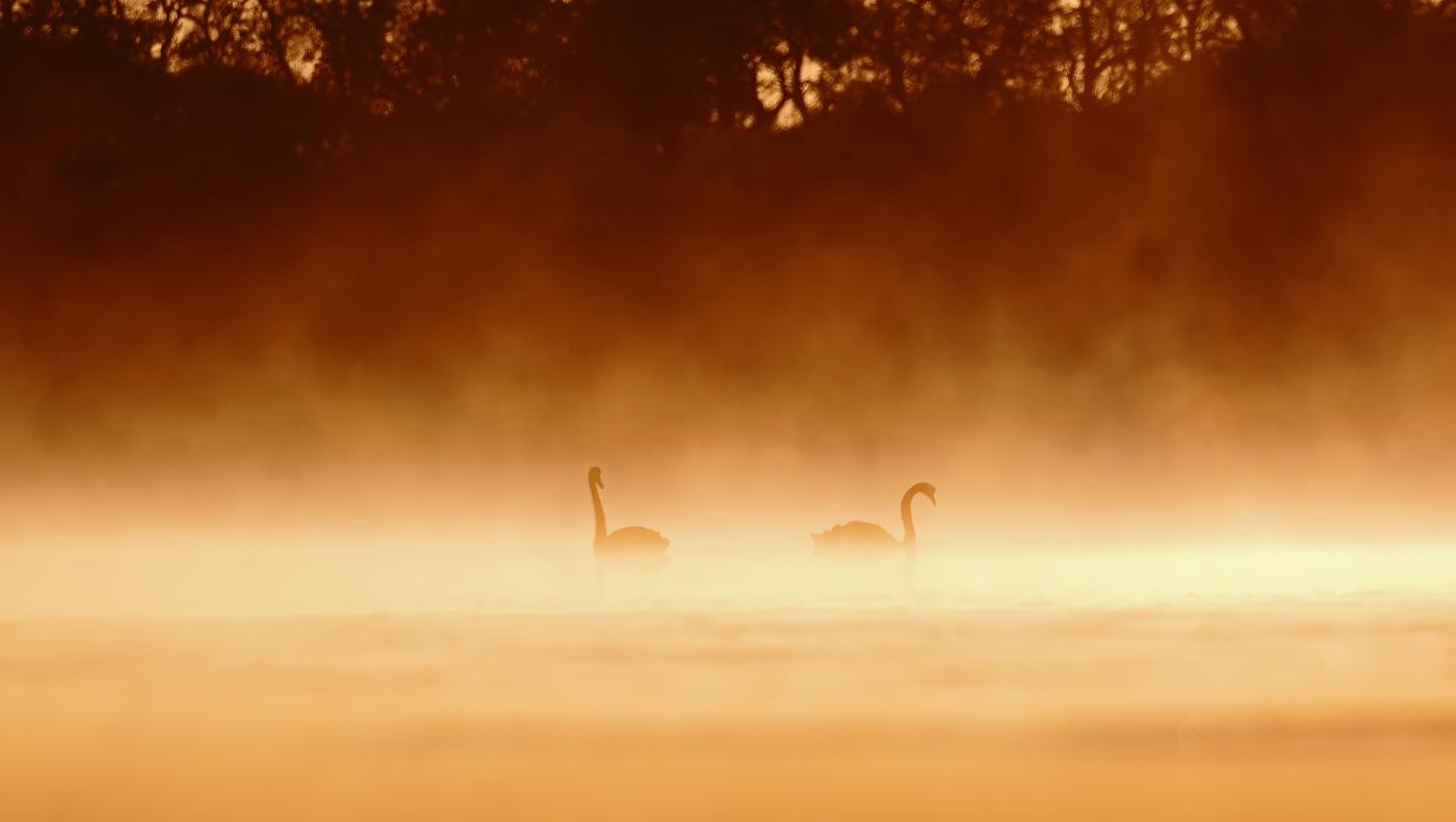 Black Swan (Image ID 37224)