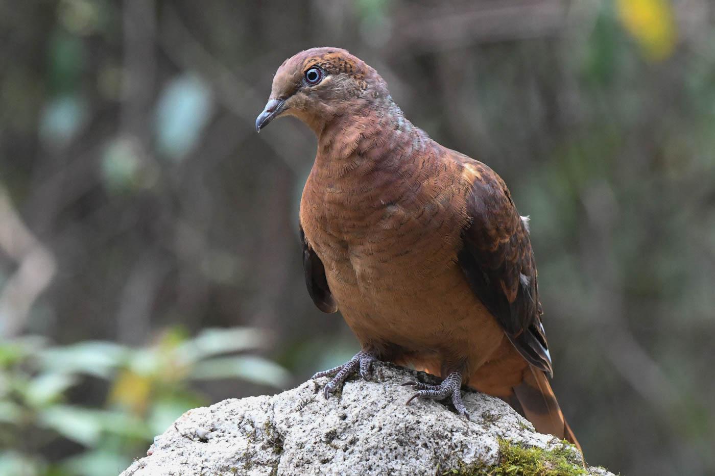 Brown Cuckoo-Dove (Image ID 37219)