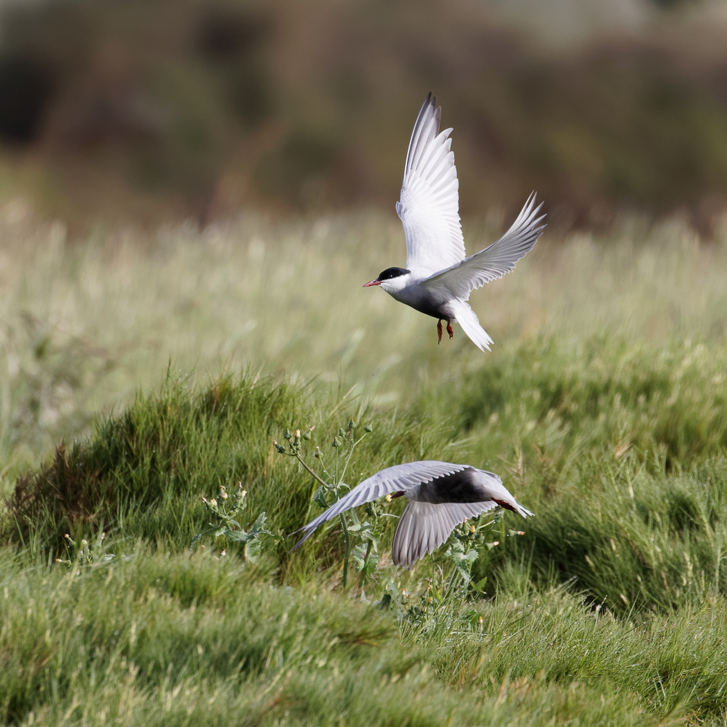 Whiskered Tern (Image ID 37267)
