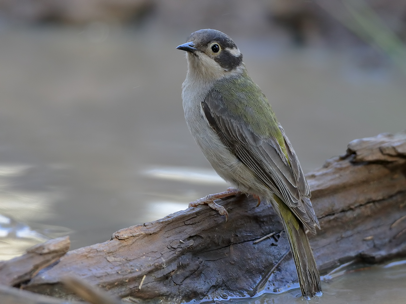 Black-headed Honeyeater (Image ID 37343)
