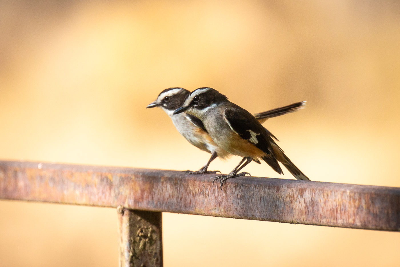 Buff-sided Robin (Image ID 37071)