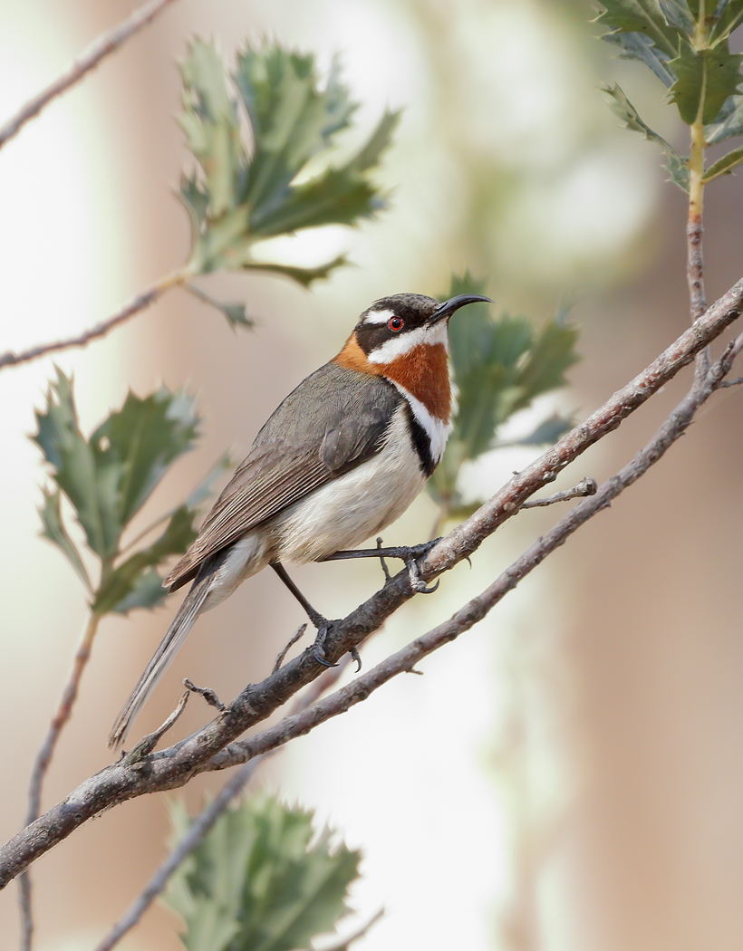 Western Spinebill (Image ID 37380)