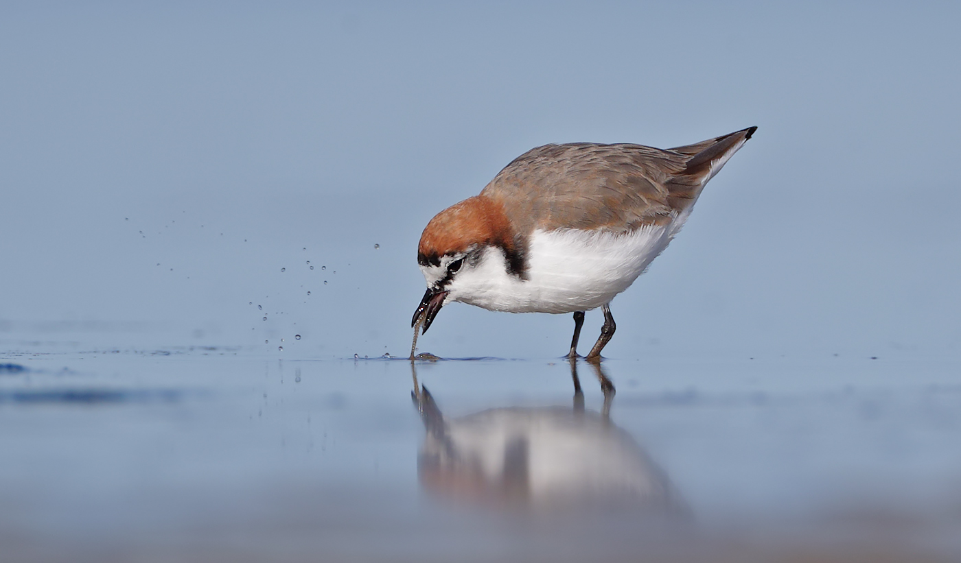 Red-capped Plover (Image ID 37130)