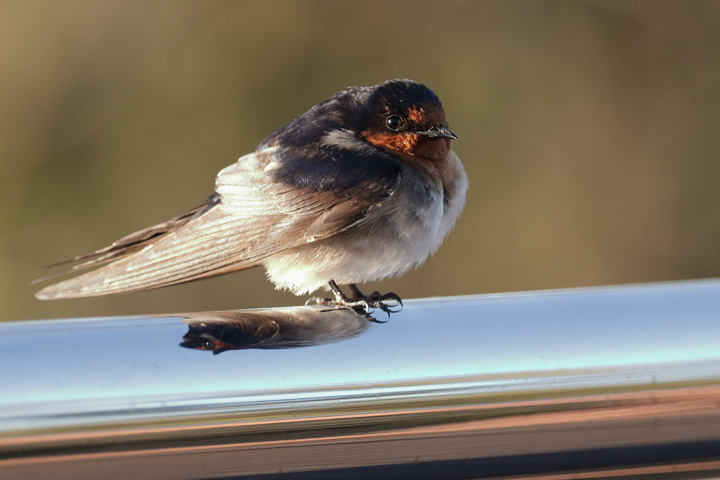 Welcome Swallow (Image ID 37096)