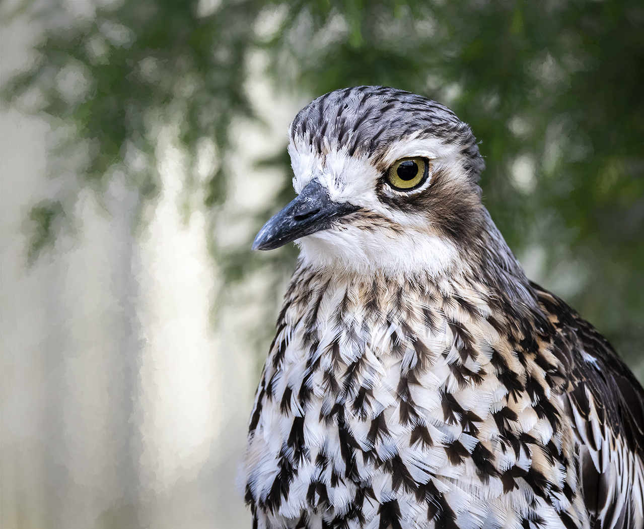 Bush Stone-curlew (Image ID 37400)