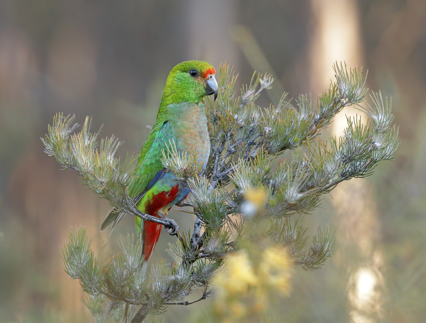 Red-capped Parrot (Image ID 37426)
