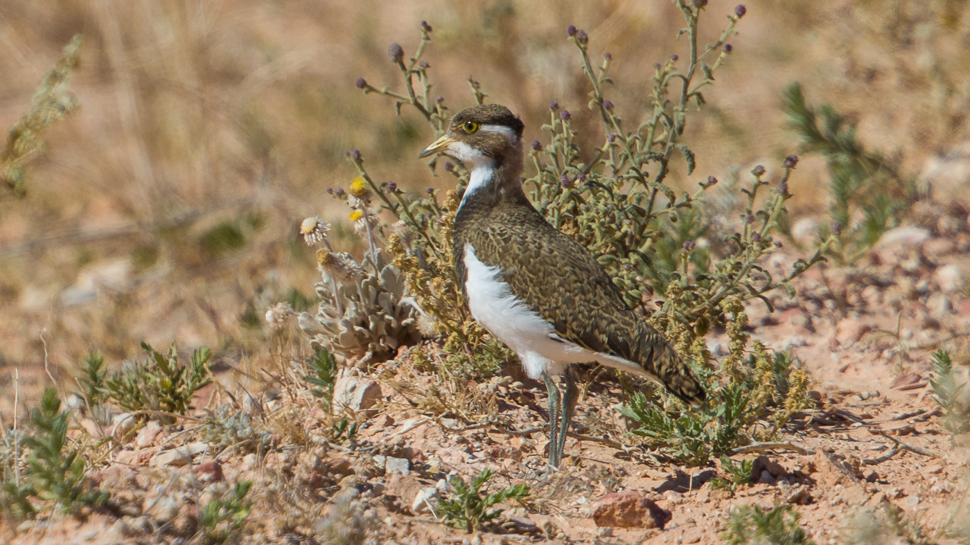 Banded Lapwing (Image ID 37210)