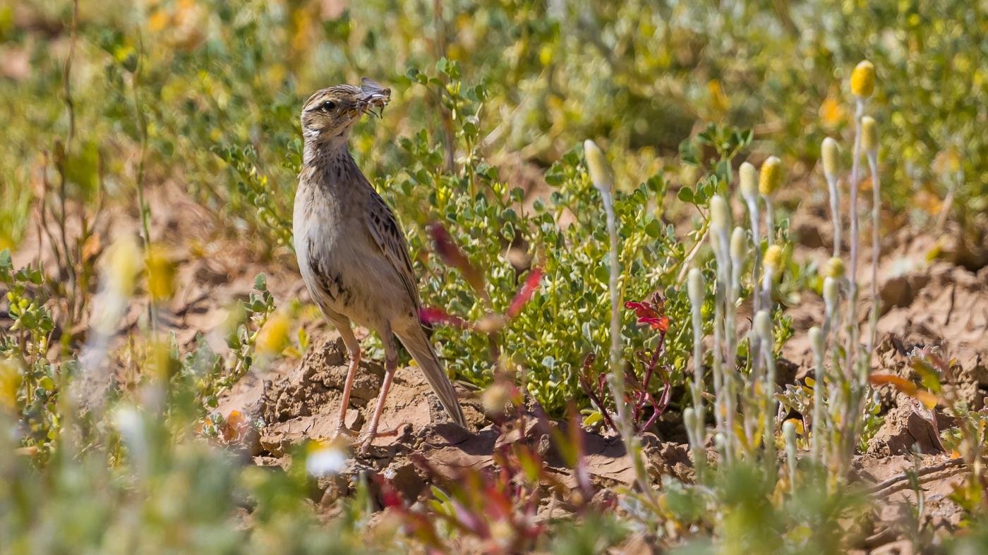 Brown Songlark (Image ID 37160)