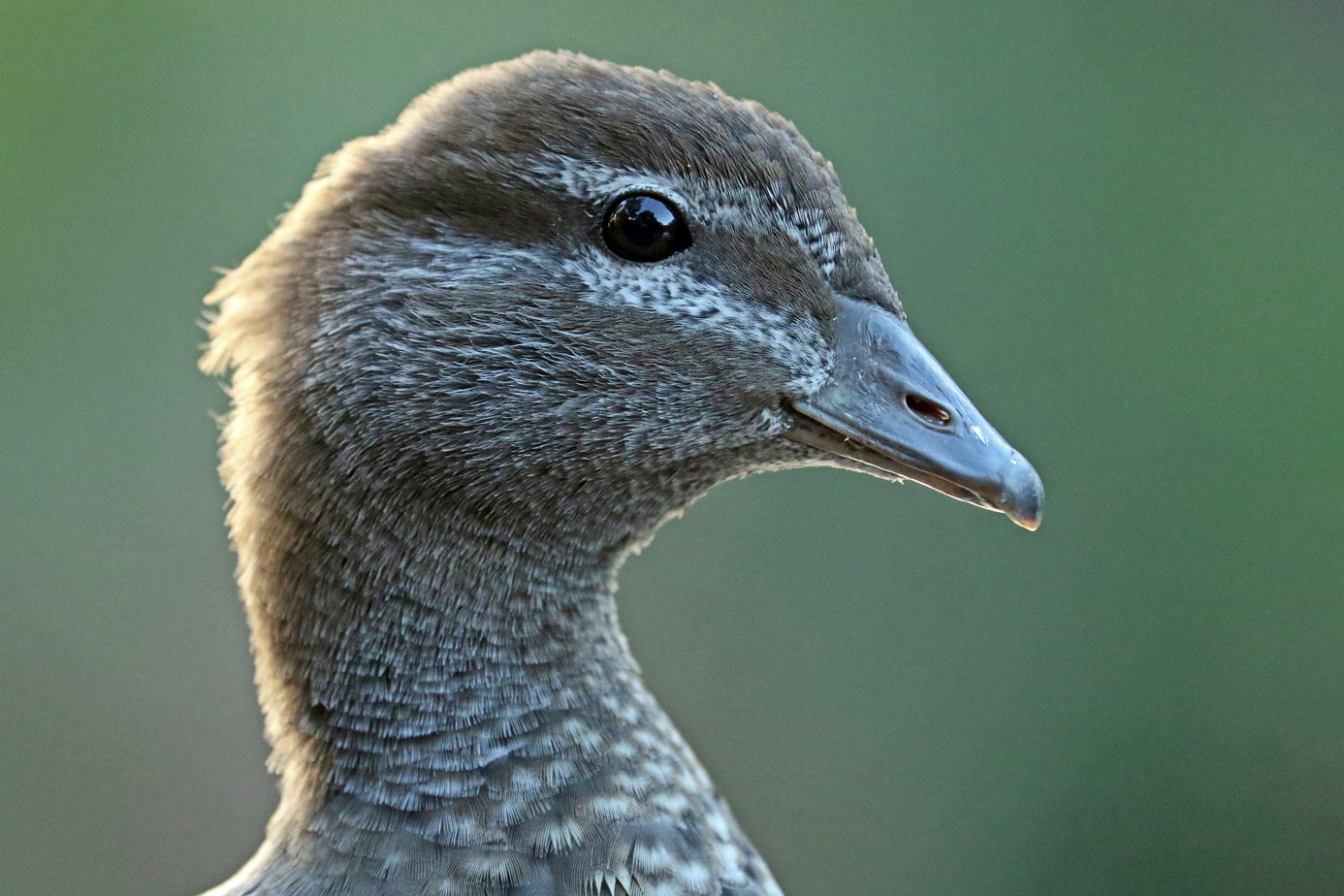 Australian Wood Duck (Image ID 37407)