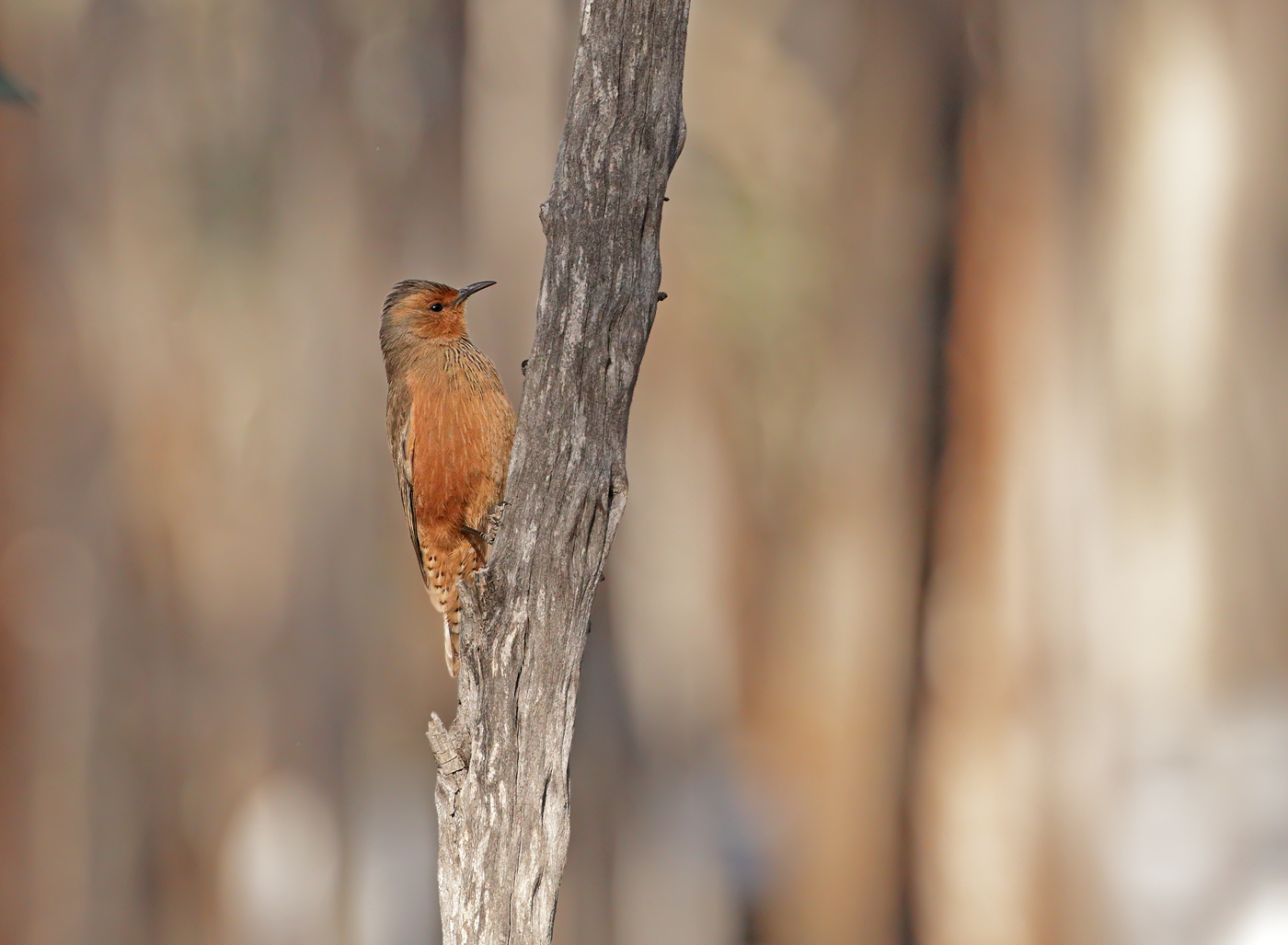 Rufous Treecreeper (Image ID 37322)