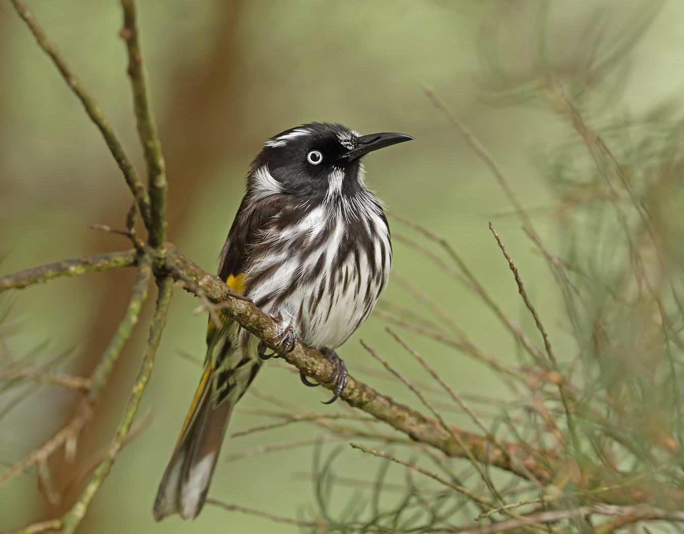 New Holland Honeyeater (Image ID 37190)