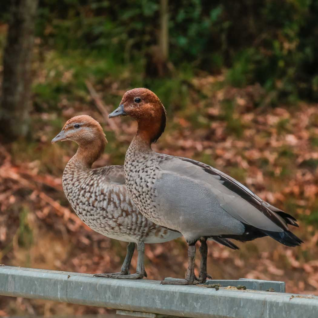 Australian Wood Duck (Image ID 37101)