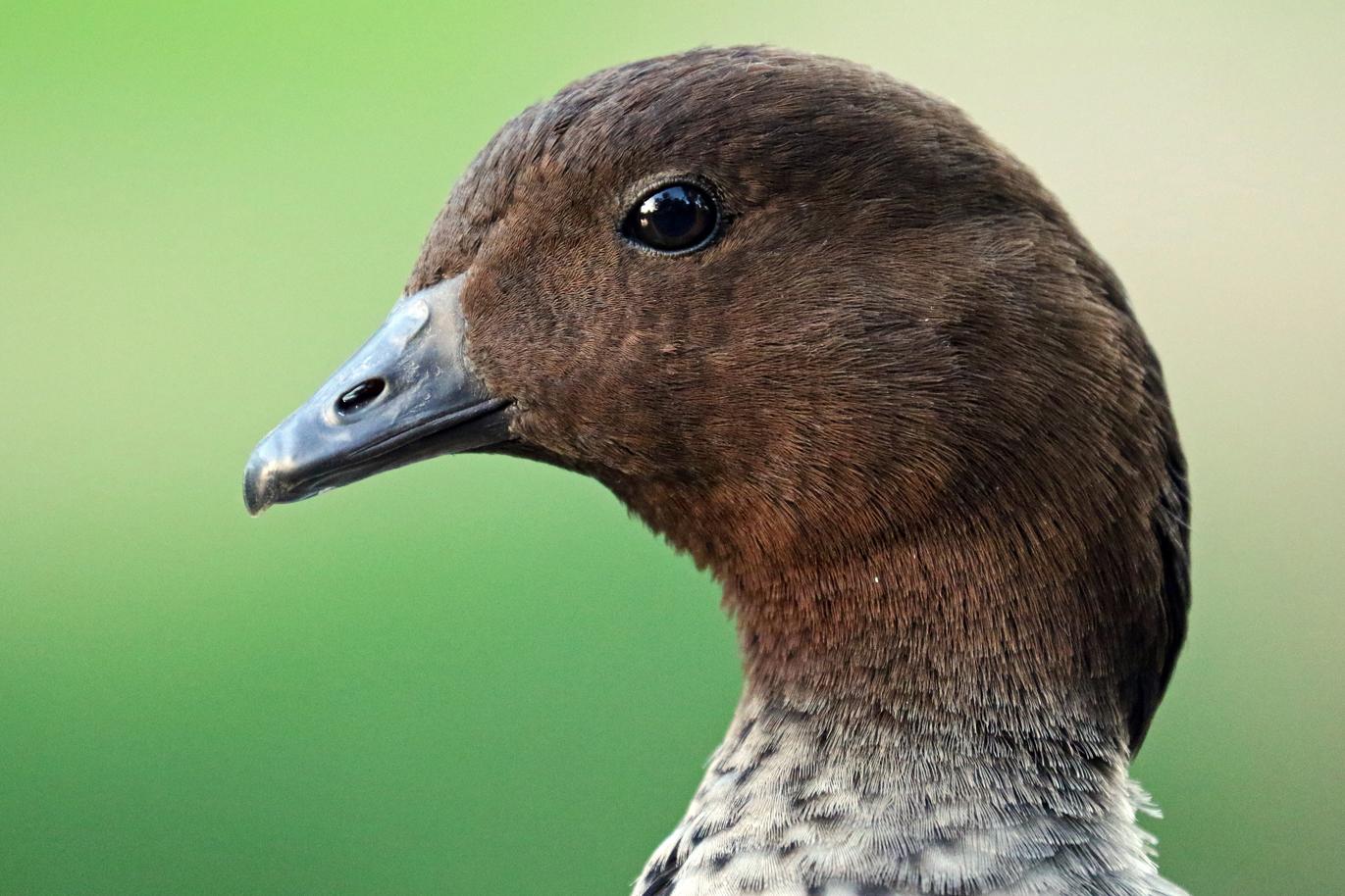 Australian Wood Duck (Image ID 37408)