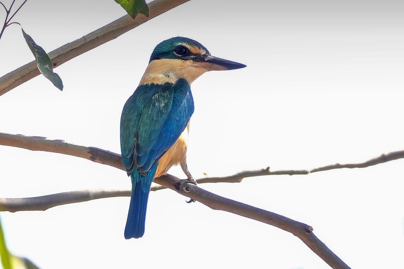 Sacred Kingfisher (Image ID 37226)