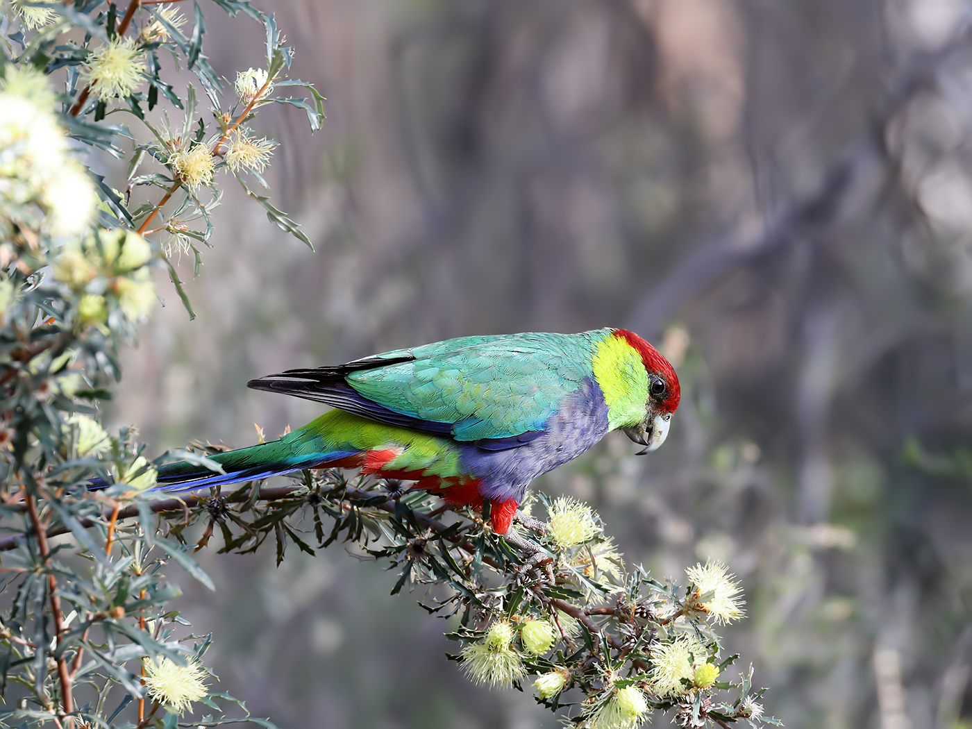 Red-capped Parrot (Image ID 37099)