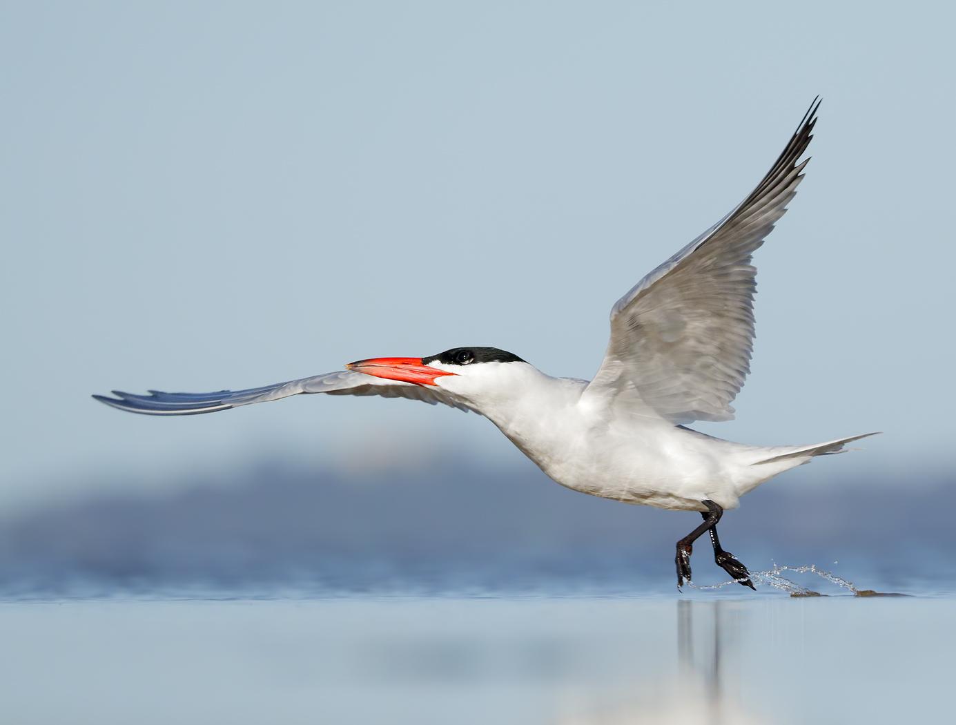 Caspian Tern (Image ID 37257)