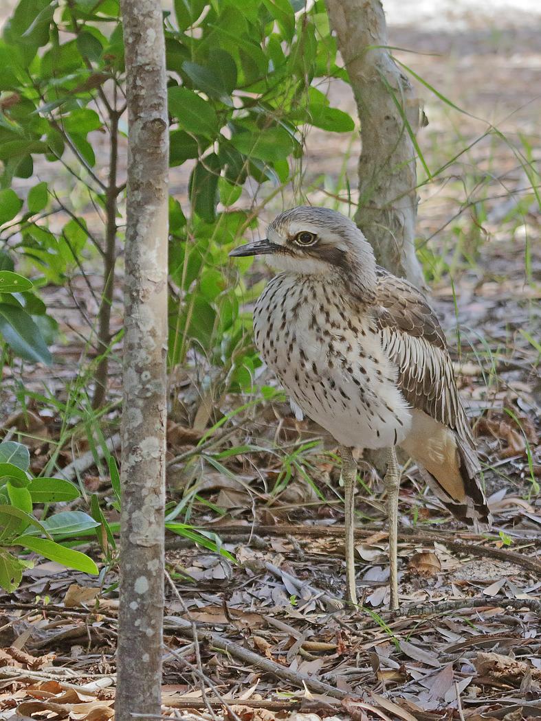 Bush Stone-curlew (Image ID 37423)
