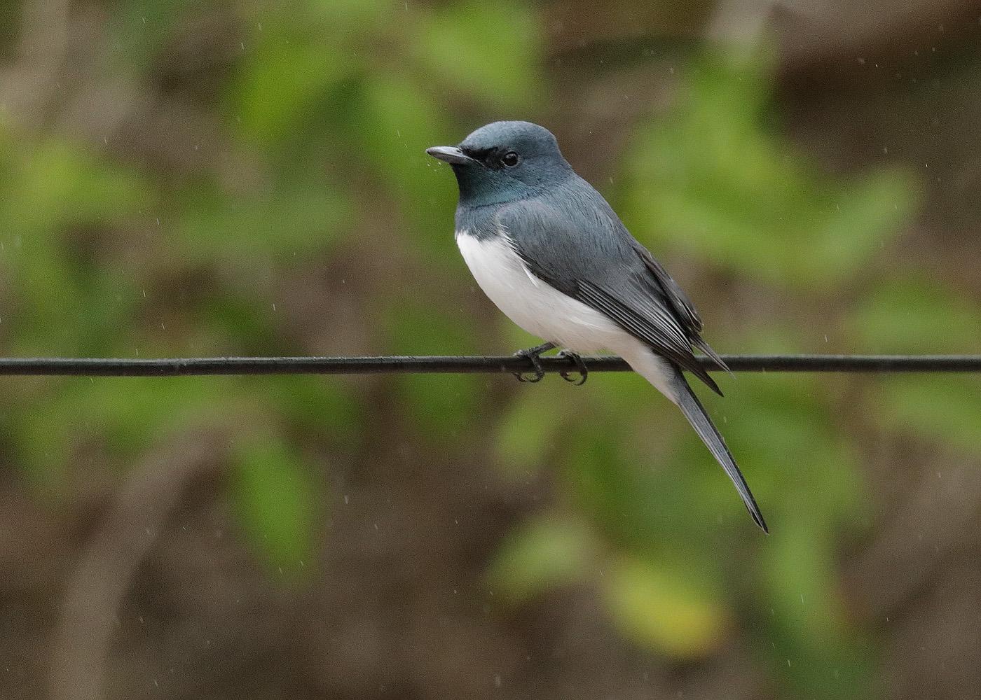 Leaden Flycatcher (Image ID 37165)
