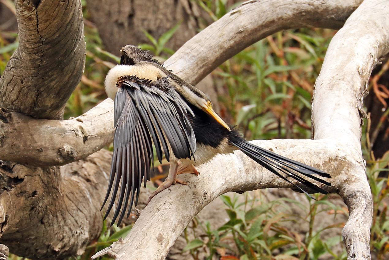 Australasian Darter (Image ID 37386)