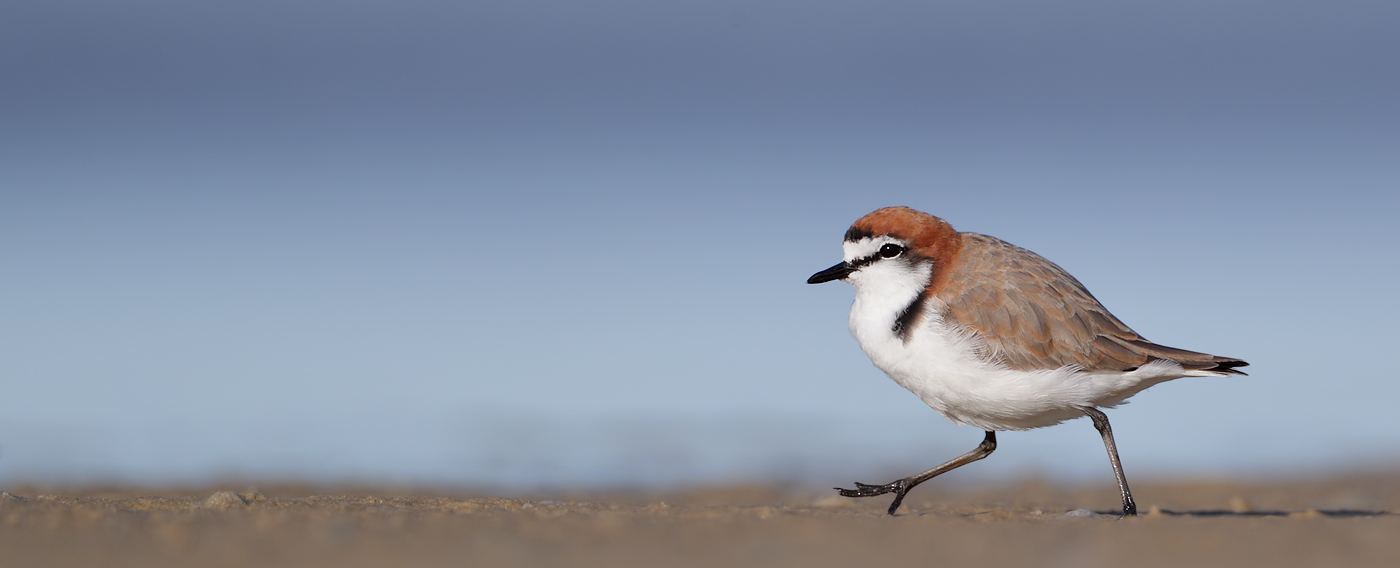 Red-capped Plover (Image ID 37131)