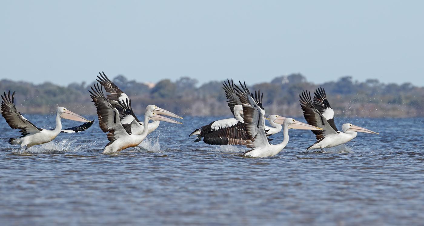 Australian Pelican (Image ID 37258)